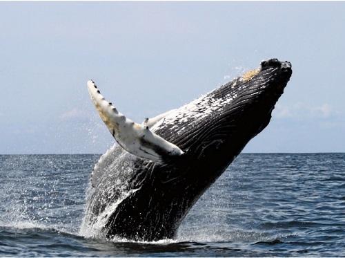 0歳から参加OK!?3月末までの限定開催『ホエールウォッチング』!沖縄でクジラを観に来ませんか?
