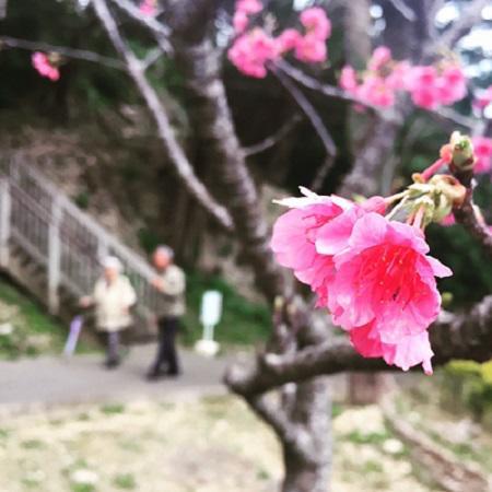 沖縄桜祭り.jpg