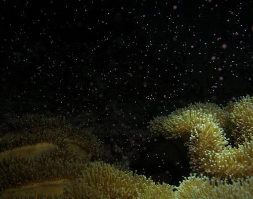 蒸し暑い夜はサンゴの産卵?