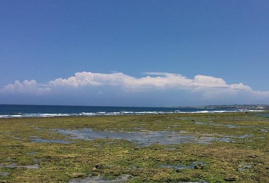 沖縄春の海アーサ採り