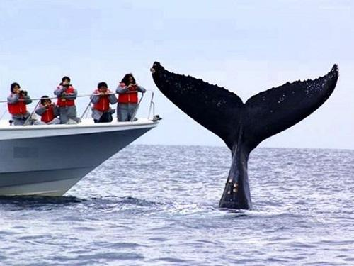 沖縄ホエールウォッチングザトウクジラ