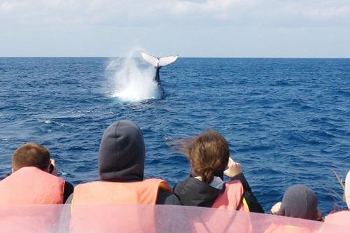 沖縄、冬の海の風物詩、ホエールウォッチング、ザトウクジラの繁殖と子育て、北谷発クルーザーで出港、親子で参加OK、子どもも乗船可能