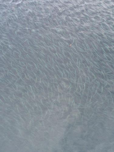沖縄、北谷フィッシャリーナ、港内、サーディンラン、イワシの大群、ダイバー憧れ、ダイビング、シュノーケリング、マリンアクティビティ.jpg