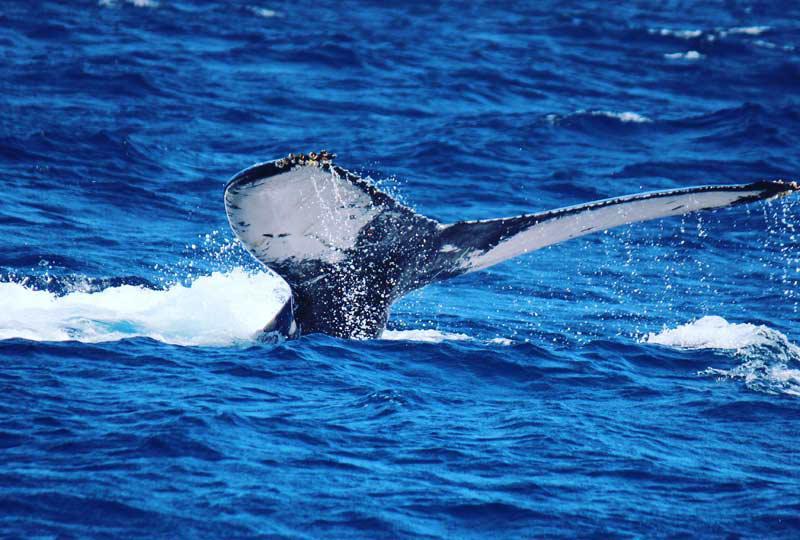 大迫力のザトウクジラに遭遇